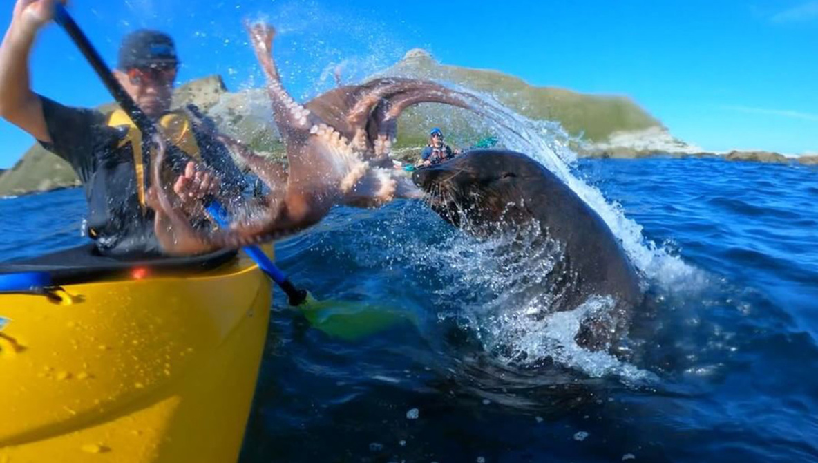 Kayaker Slapped in Face by an Octopus-Wielding Seal
